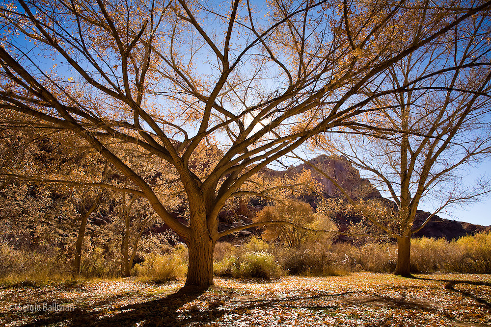 A cottonwood tree shows its age in the Fruita valley in Capitol Reef National Park, Utah