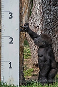 A baby gorilla checks out the giant ruler - The annual weigh-in records animals' vital statistics at ZSL London Zoo. London, 24 August 2017