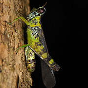 Bennia bonzo. Eumastacidae are a family of grasshoppers sometimes known as monkey- or matchstick grasshoppers.