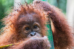 A young 'critically endangered' Sumatran orangutan (Pongo abelii) that was rescued from illegal pet traders get caught in a rainstorm while playing outside in the orangutan playground at the SCOP Care Center in Medan, Medan, Sumatra, Indonesia