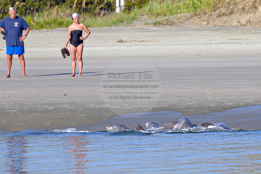 Tourists watch Atlantic bottlenose dolphins feed on fish during stand feeding at Captain Sam's Inlet September 3, 2014 in Seabrook Island, SC. This unusual practice involves a group of dolphins herding a school of fish onto the beach and then launching their bodies out of the water and onto the shore to feed and is only found in a few places on earth.