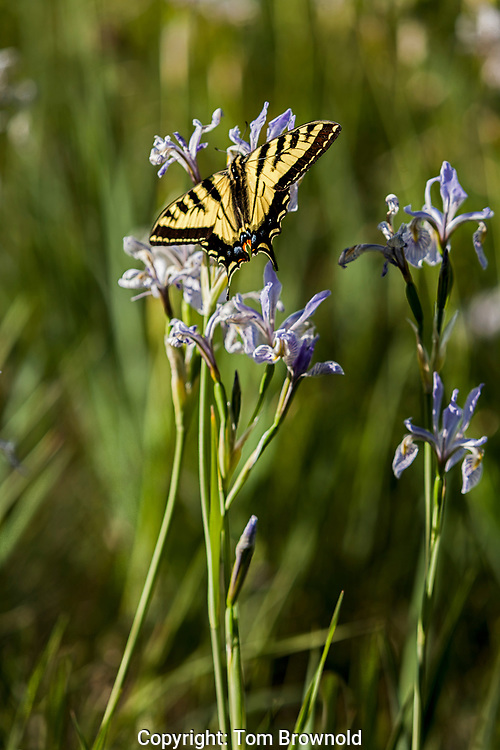 tiger swallowtail butterfly on wild iris flowers