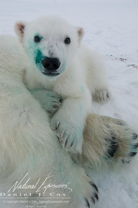 A polar bear cub stained with green die from a lip tattoo cuddles up to it's immobilized mother. Beaufort Sea, Alaska.