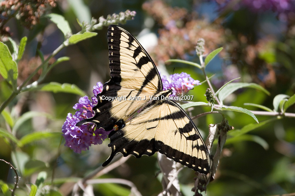 Eastern Tiger Swallowtail, butterfly, with wings spread on lilac flower