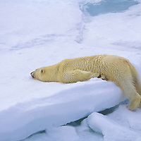 This polar bear north of Svalbard  on the pack ice in the Arctic Ocean is cooling off.