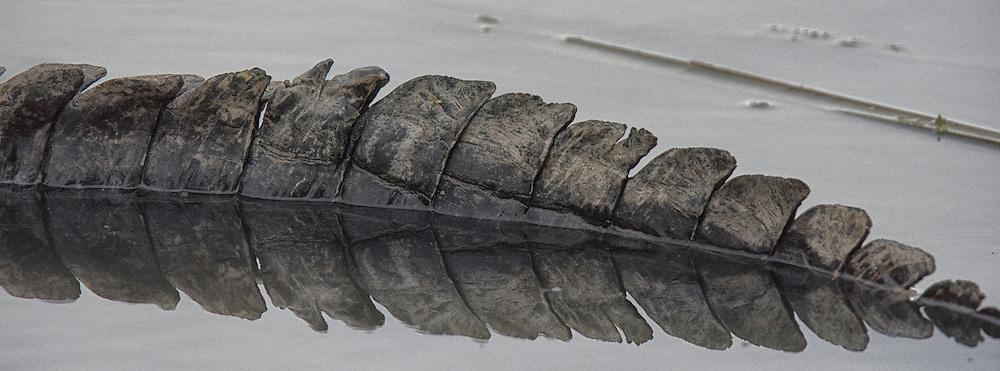 American Alligator, Alligator mississippiensis;<br /> Photographers: David Abarca &amp; Joe Froeschle<br /> Property:  Welder Wildlife Refuge / Rob &amp; Bessie Welder Wildlife Foundation<br /> San Patricio County