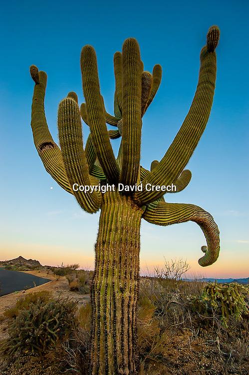 Old Saguaro at sunrise near the trailhead to Tom's Thumb.