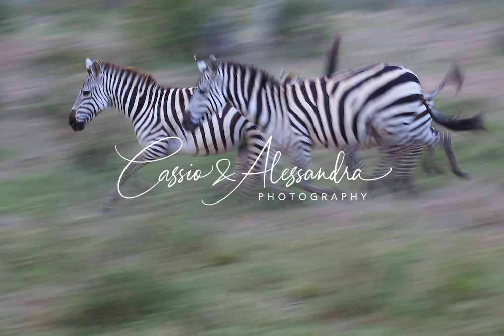 Kenya - Maasai Mara - Zebra - Equus zebra- Panning shot of zebras running after a small river crossing very early in the morning. Having not so much light available yet, the scene was asking for a panning shot.