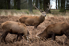 DEC 23 2014 Weather pictures deer in Richmond Park