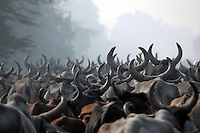 India, Haryana, Agra Road, 2007. Hundreds of Brahmin longhorn cattle follow an ancient grazing route alongside the main Delhi-Agra road.
