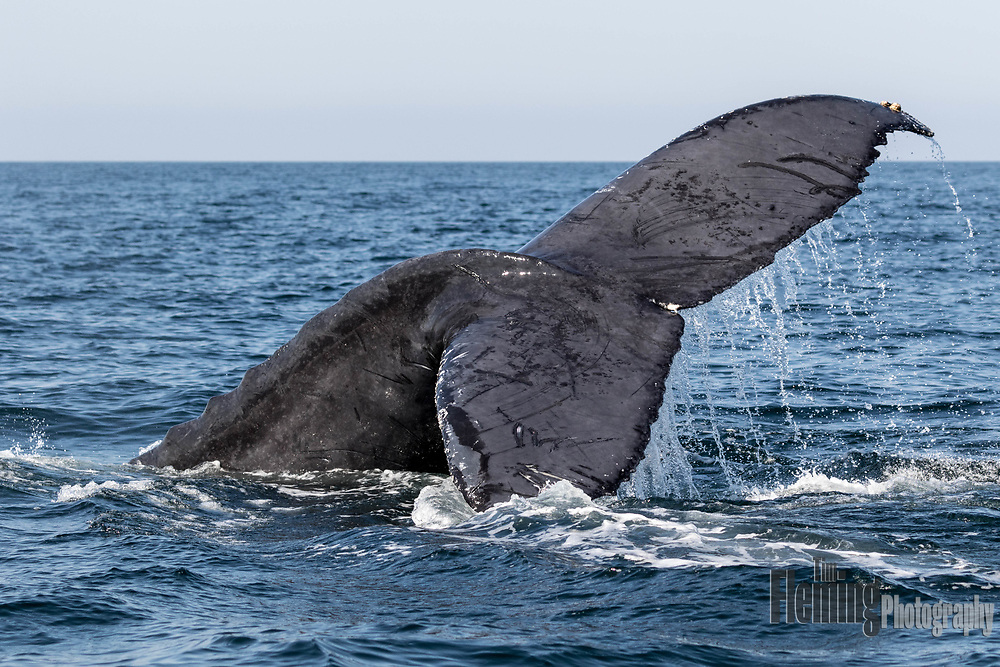 Humpback whale in Banderas Bay, near Puerto Vallarta Mexico. Whales are frequent visitors during peak season of November through February.