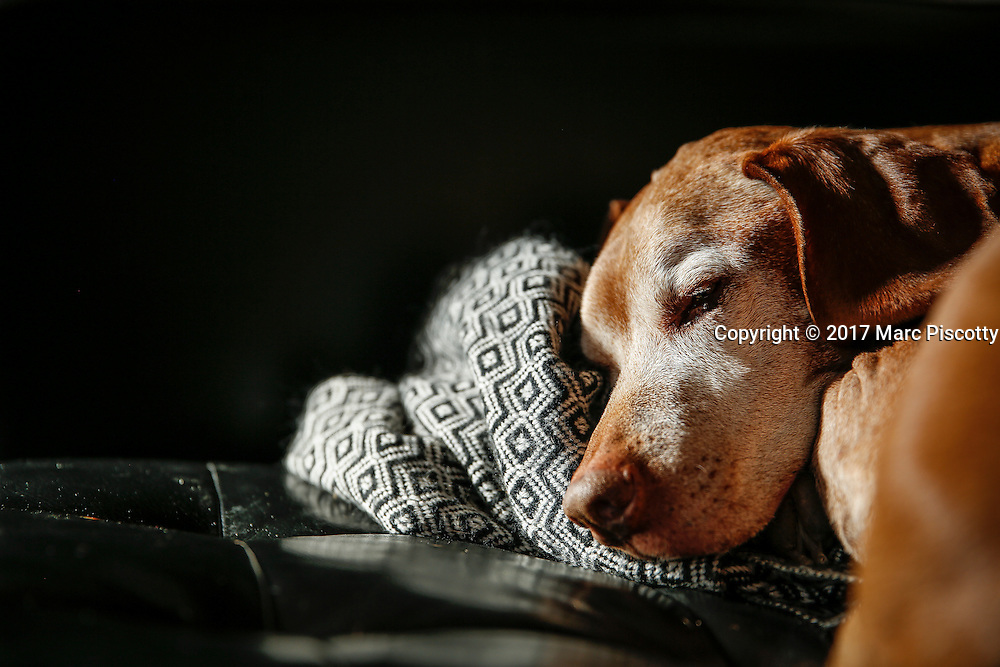 SHOT 1/31/17 2:26:03 PM - Tanner, a 12 year-old male Vizsla, napping on the sofa at his home in Denver, Co. The Vizsla, is a dog breed originating in Hungary. The Hungarian or Magyar Vizsla represents one of the best in sporting dogs and loyal companions and has a strong claim to being one of the smallest of the all-round pointer-retriever breeds. The Vizsla's size is one of the breed's most attractive characteristics and through the centuries he has held a unique position for a sporting dog -- that of household companion and family dog. The Vizsla is a natural hunter endowed with a good nose and an above average trainability. Although they are lively, gentle mannered, demonstrably affectionate and sensitive, they are also fearless and possessed of a well-developed protective instinct.<br /> (Photo by Marc Piscotty / &copy; 2017)
