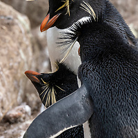Rockhopper penguins in a colony on New Island, Falkland Islands.