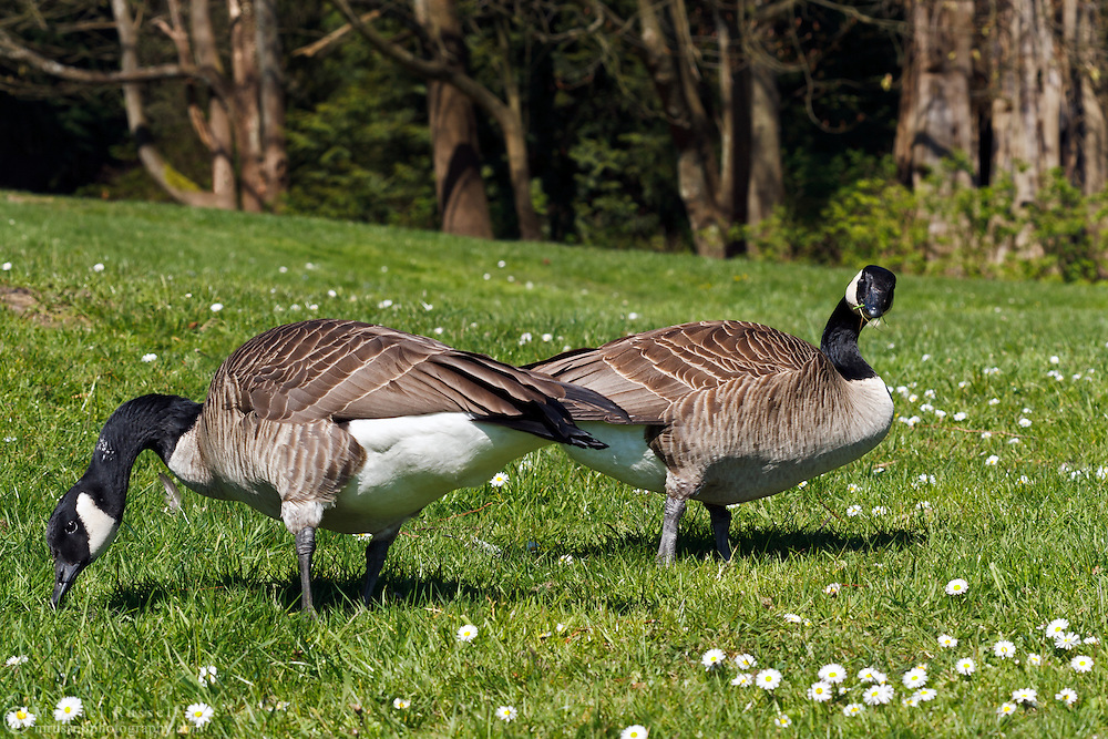 A pair of Canada Geese (Branta Canadensis) eat grass in Stanley Park in Vancouver, British Columbia, Canada
