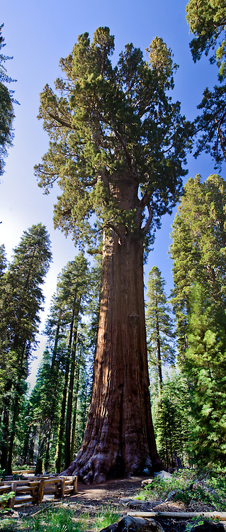 General Sherman, the largest living organism on Earth, Sequioa National Park