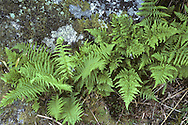 Hay-scented Fern Dryopteris aemula  and Lady Fern Athyrium filix-femina