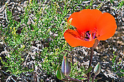 Desert Mariposa Lily (Calochortus kennedyi), Owens Valley, California