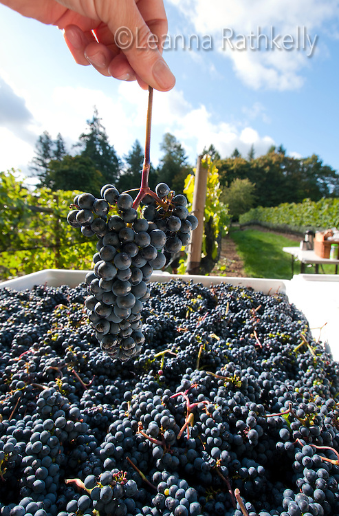 The annual harvest of the pinot noir grapes brings all the family to help at Symphony Winery in Saanich, BC on Vancouver Island.