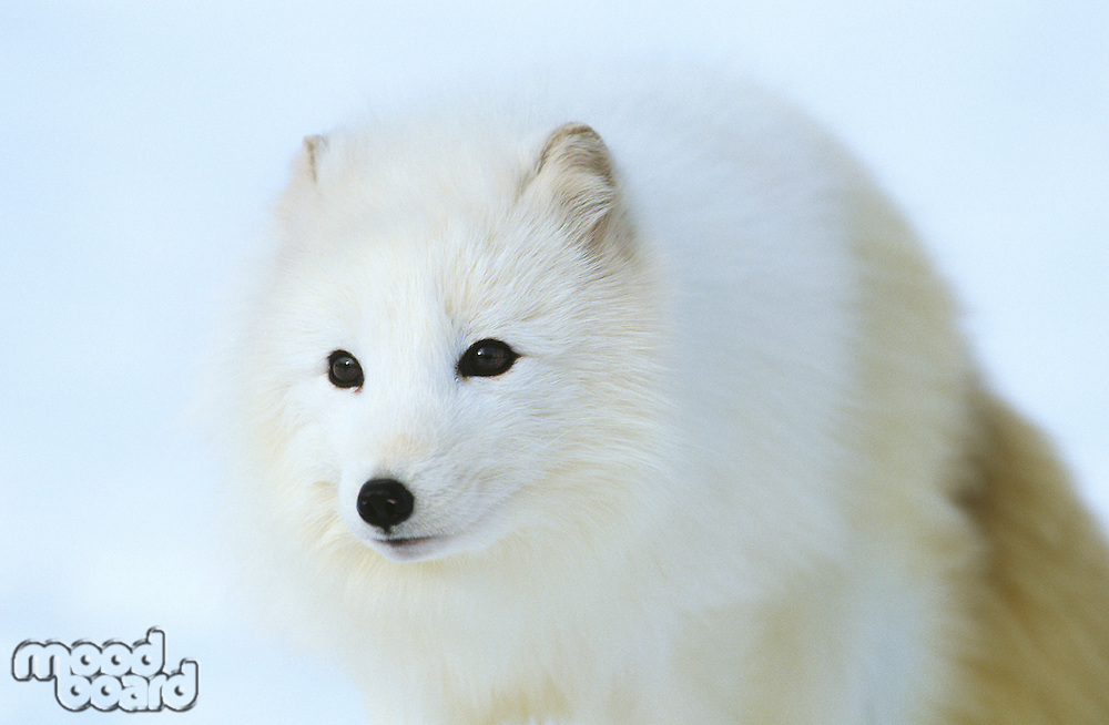 Arctic Fox in snow close-up