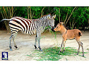 What do you get if you cross a donkey with a zebra? A zonkey! Rare cross-breed born in Mexico (and she's got her mother's legs!)<br /> <br /> What's black and white and looks like a donkey? A zonkey!<br /> <br /> The animal is just as it sounds: a rare and unusual cross-breed between a zebra and a donkey.<br /> <br /> The foal, named Khumba, was born at the Reynosa Zoo in Mexico on April 21.<br /> The story goes that there was some romance along the way.<br /> <br /> A female zebra called Rayas, and his father, a blue-eyed albino donkey named Ignacio, used to visit every afternoon. Eventually, Rayas became pregnant.<br /> The zoo says the animal is extremely rare because zebra and donkey chromosomes were thought to be incompatible.<br /> However, Khumba is not the first zonkey. Ippo, a zonkey born in Italy, became a huge sensation when he was born in Florence last year.<br /> Ippo was spawned after his dad, a zebra, jumped over a fence into an enclosure housing donkeys.<br /> ©Exclusivepix