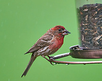 Male House Finch. Image taken with a Nikon D810a camera and 600 mm f/4 VR telephoto lens.