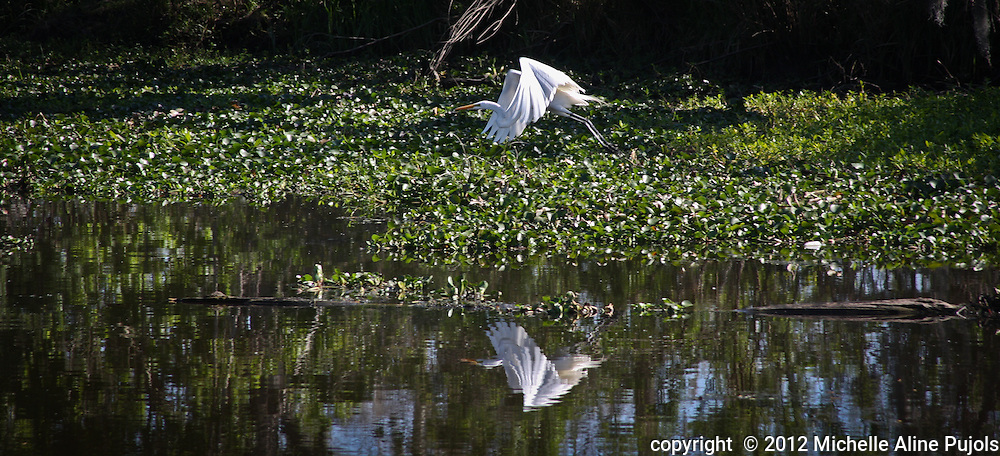 Great Egret flying over a Louisiana swamp.