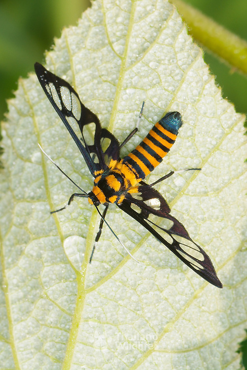 The clearwing moth, ceryx sphenodes, in Khao Yai National Park, Thailand. Believed to be a bee or wasp mimic.