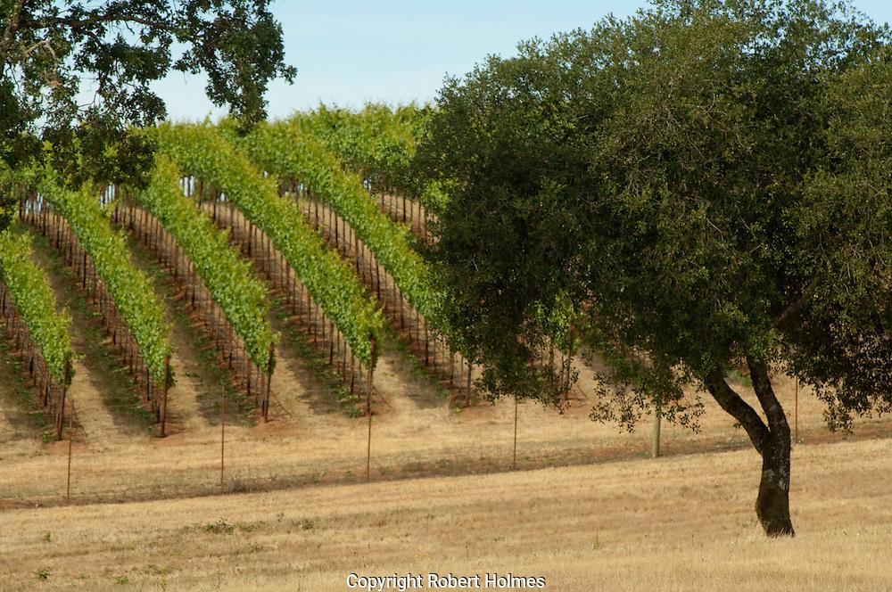 Russian River vineyards, Sonoma County, California