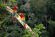 Scarlet Macaws<br />Ara macao macao<br />Madre de Dios,  Amazon Rain Forest.  PERU<br />South America<br />Range: S. Mexico to Bolvia