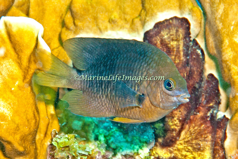 Threespot Damselfish inhabit reef tops in areas with algae in Tropical West Atlantic; picture taken Key Largo, FL.