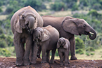 African Elephant family drinking from Hapoor waterhole, Addo Elephant National Park, Eastern Cape, South Africa