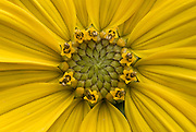 Maximilian Sunflower (Helianthus maximiliani)