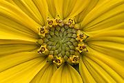 Maximilian Sunflower (Helianthus maximiliani)