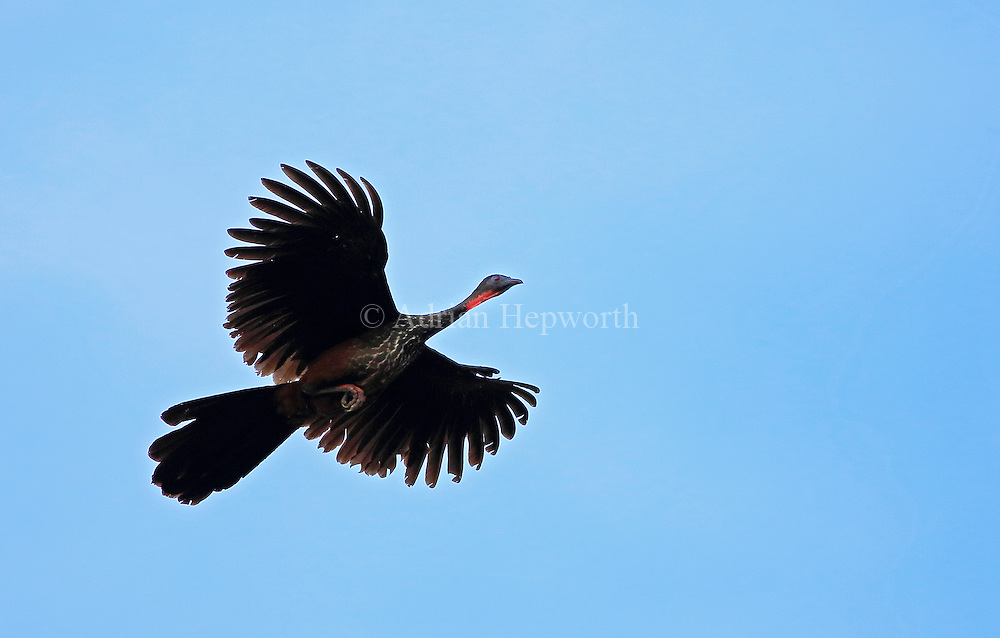Crested Guan (Penelope purpurascens) in flight, Corcovado National Park, Osa, Costa Rica. <br /> <br /> For pricing click on ADD TO CART (above). We accept payments via PayPal.