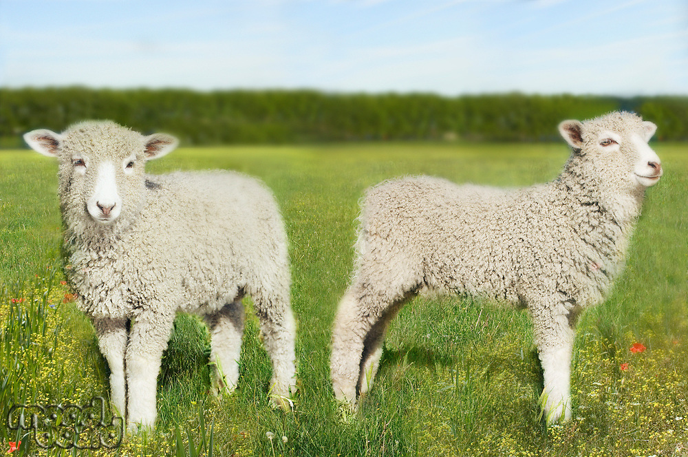 Two lambs in field (digital composite)