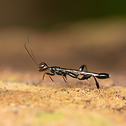 The Stephanidae, sometimes called crown wasps, are a family of parasitoid wasps placed in the superfamily Stephanoidea. Kaeng Krachan National Park, Thailand.