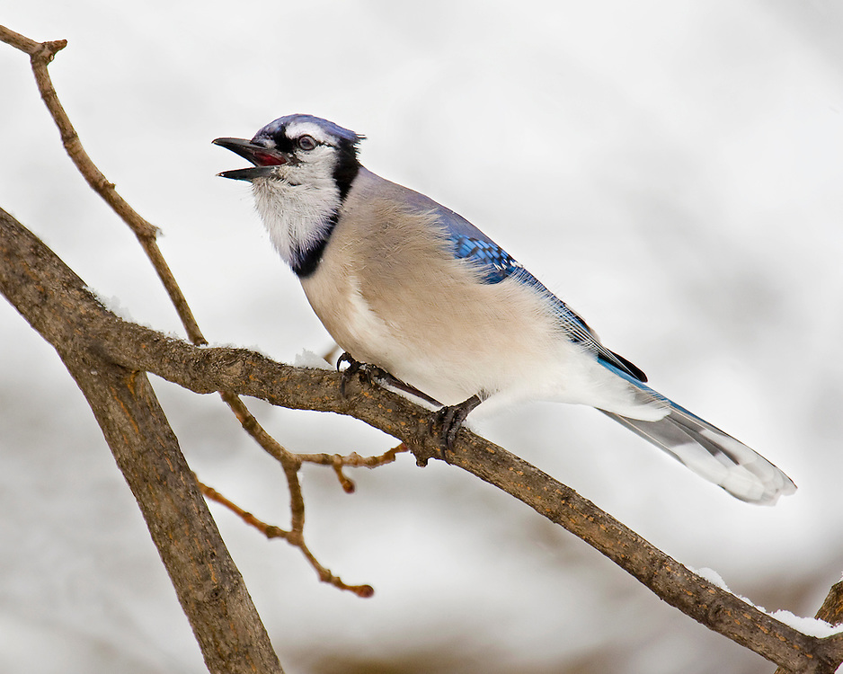 This aggressive blue jay was actually competing with a squirrel for peanuts in the snow near the park's Band Shell during the Winter of 2007.