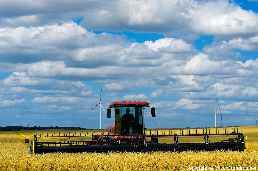 Harvesting wheat with swather and wind turbines in background<br /> Somerset<br /> Manitoba<br /> Canada