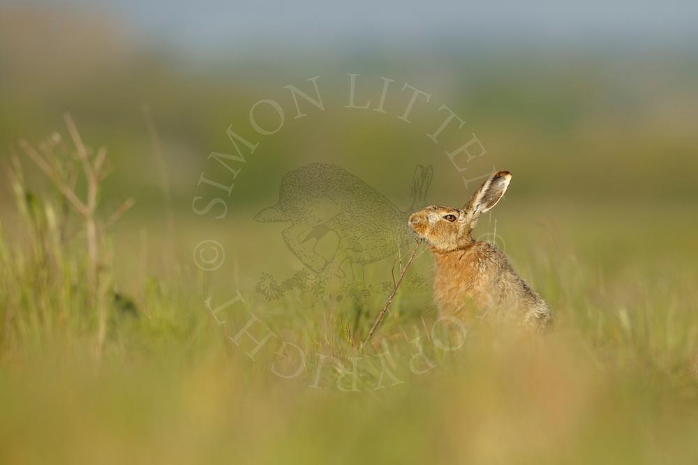 European Hare (Lepus europaeus) adult scent marking in field margin, Norfolk, UK. May.