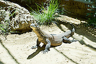 Roma 15 Maggio 2014<br /> Inaugurata al Bioparco l'area dei Draghi di Komodo, le lucertole più grandi e pericolose del mondo. Nella foto il giovane drago di Komodo Ivan,di quasi tre anni, uno dei due maschi draghi di Komodo  ospiti allo zoo Bioparco di Roma, <br /> Rome May 15, 2014 <br /> Inaugurated at the Bio-park the area of Komodo dragons, the largest lizards and dangerous in the world. In the picture the young Komodo dragon Ivan, almost three years, one of the two male Komodo dragons at the zoo  Biopark of Rome,