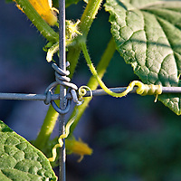 A cucumber vine growing on a wire fence. The cucumber's tendril has curled onto the wire in the same way that the wire fence has been fastened.