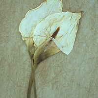 Two dried flowerheads of Arum or Calla lily or Zantedeschia aethiopica Crowborough lying on rough board