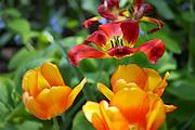 Tulip Festival UWS 89th St