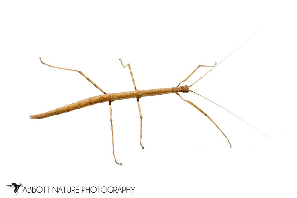 Northern Walkingstick (Diapheromera femorata) - female, captive bred<br /> TEXAS: Travis Co.<br /> Austin<br /> 5-Jan-2014<br /> J.C. Abbott &amp; K.K. Abbott