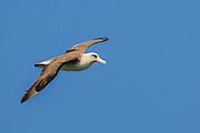 Laysan Albatross on Kauai, a bird that will commute from Alaska to Hawaii every year