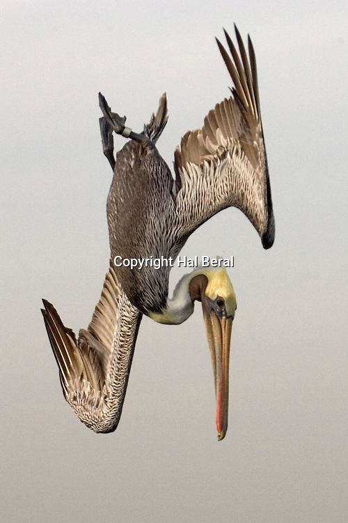 Brown Pelican in breeding colors dives for fish.(Pelecanus occidentalis).Bolsa Chica Wetlands, California