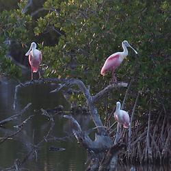 Roseate Spoonbills (Ajaia ajaja), Pelican Island National Wildlife Refuge, Vero Beach,  Florida, US