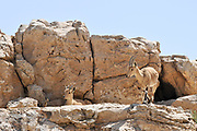 Israel, Negev Desert, Mitzpe Ramon, a herd of Ibex (Capra ibex nubiana) wondering in the town