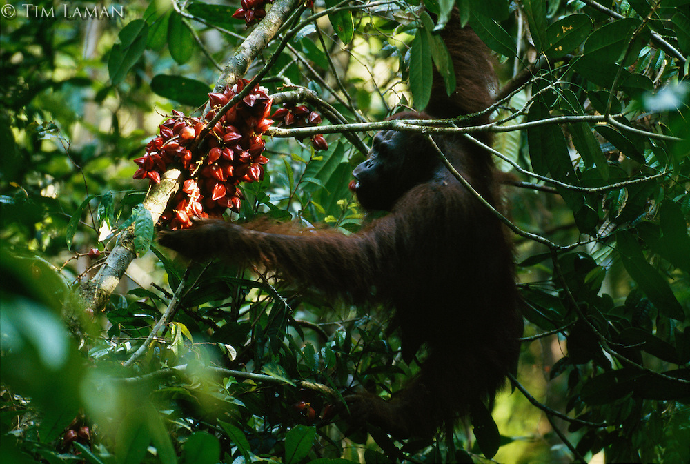 A young male orangutan (Pongo pygmaeus) named Rob feeds on the glossy red fruit of a Baccaurea tree.