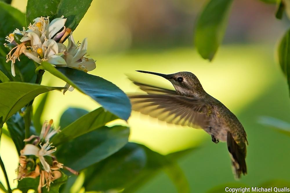 Annas Hummingbird at our lemon tree.